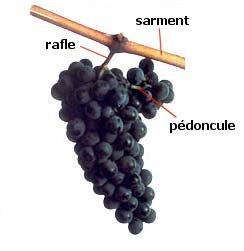 Structure de la grappe de raisin